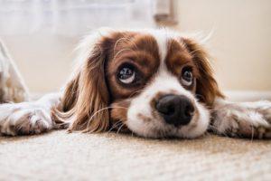 Dog giving puppy-dog eyes